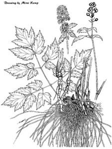 Actaea arguta - Baneberry