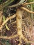 Dipsacus sylvestris - Teasel root